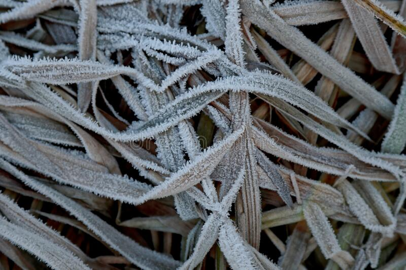 A mass of frozen leaves of common reed stock photos