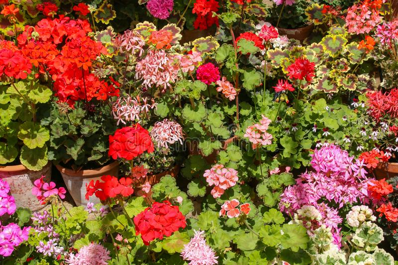 Pink, red and orange Pelargoniums in full flower. A mass of pelargoniums / geraniums on a tiered display growing in terracotta pots in a glasshouse in the summer royalty free stock photo