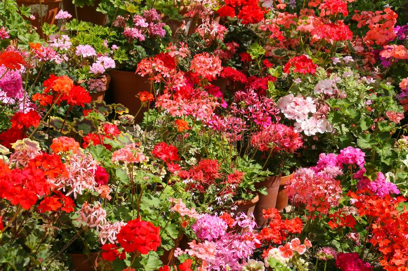 Pink, red and orange Pelargoniums in full flower. A mass of pelargoniums / geraniums on a tiered display growing in terracotta pots in a glasshouse in the summer stock photos