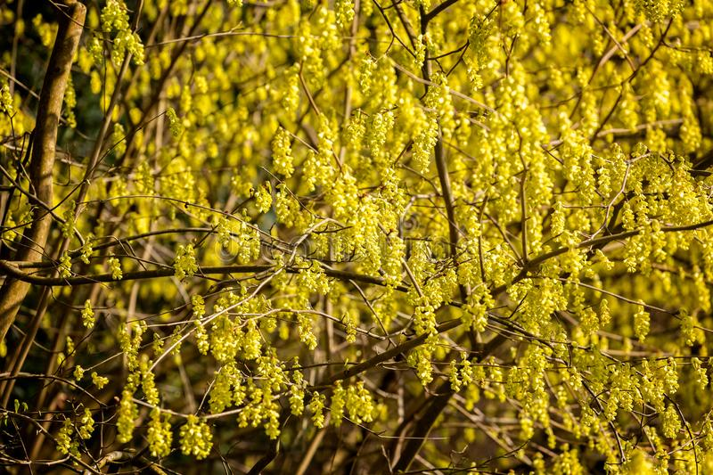 Mass of vibrant yellow winter hazel flowers stock images