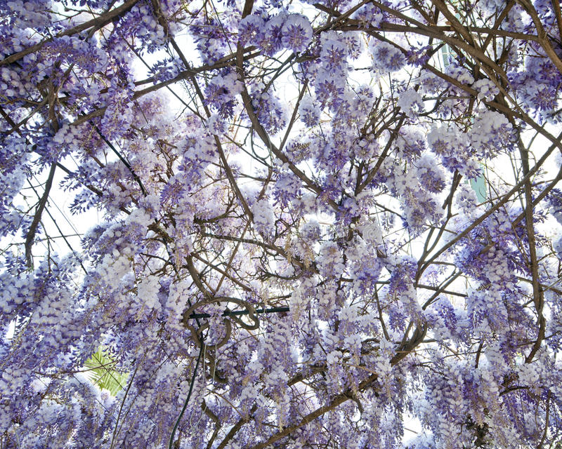 Mass of Wisteria blooms stock photography