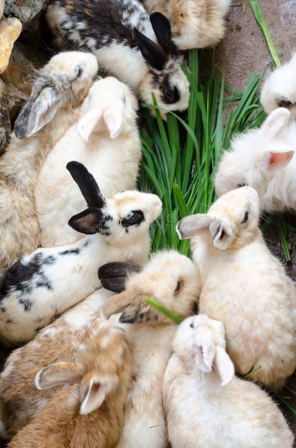 Massa's bevuild konijn in landbouwbedrijf royalty-vrije stock afbeelding
