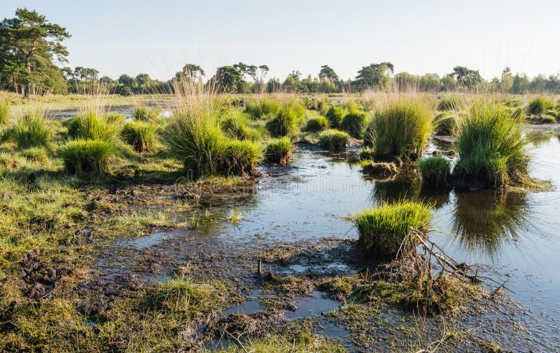 Massa's van gras bij de grens van een moeras stock foto