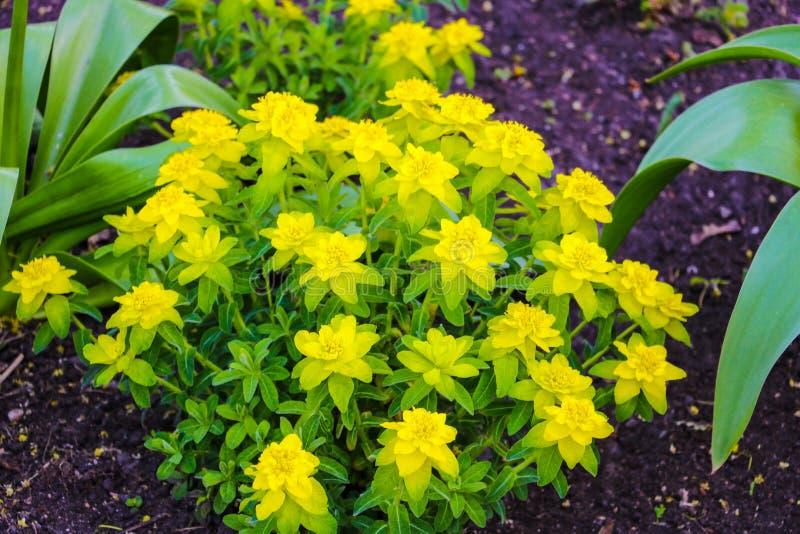 Massa's van kleine, stervormige bloemen en deze snelgroeiende, laag uitspreide bodembedekking Groene bladeren zijn sappig, vlezig stock foto