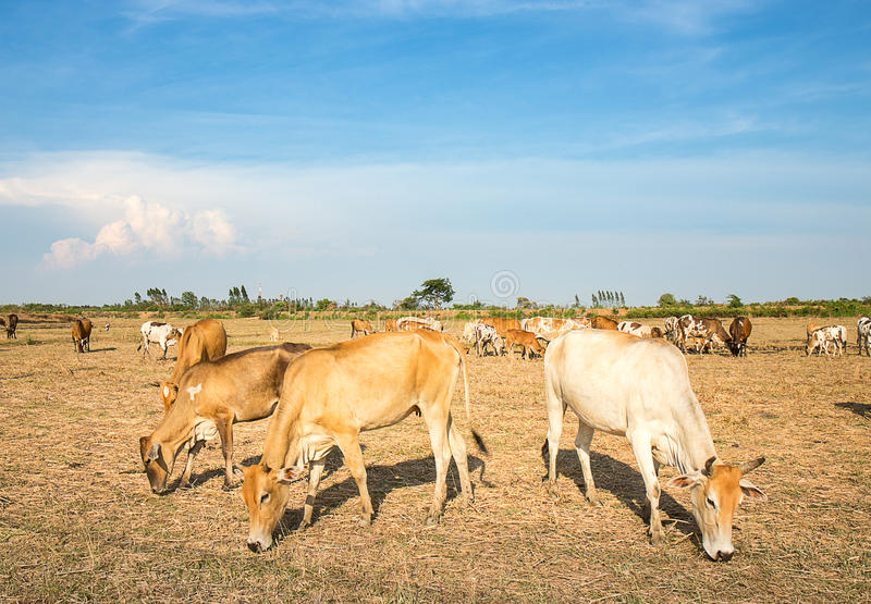 Massa's van koe die gras op gebied eten stock afbeeldingen