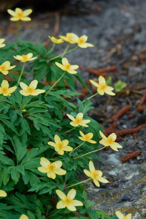 Massa van bloemenanemoon ranunculoides op een rotsachtige grond stock foto's