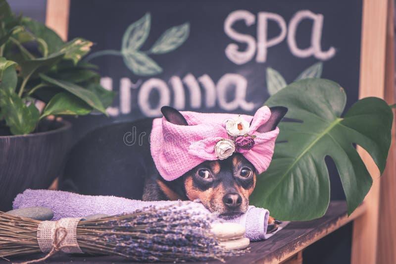 Massage och brunnsort, en hund i en turban av en handduk bland brunnsortomsorgobjekten och växter Roligt begrepp som ansar och at royaltyfria bilder