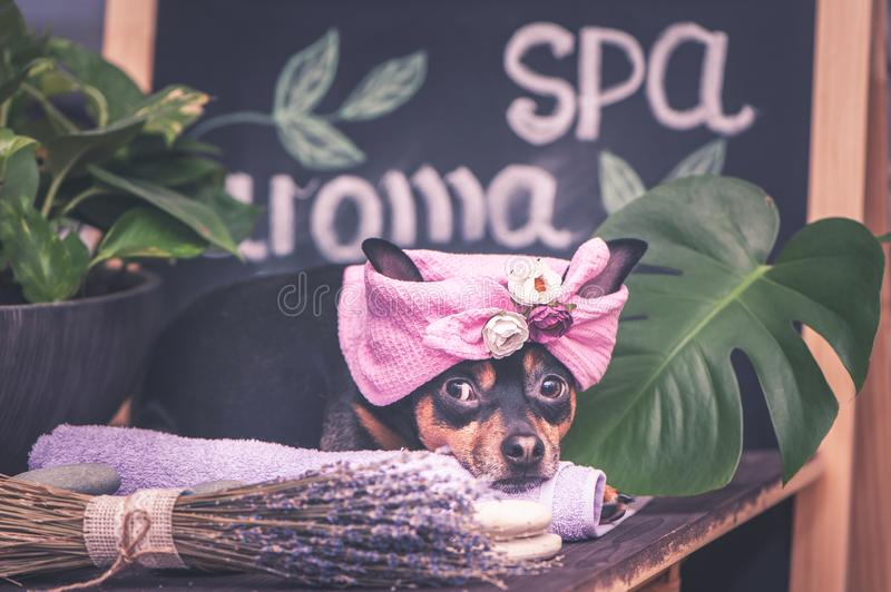 Massage and spa, a dog in a turban of a towel among the spa care items and plants. Funny concept grooming, washing royalty free stock images