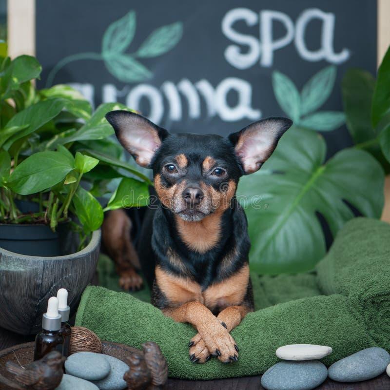 Massaggio e stazione termale, un cane fra gli oggetti di cura della stazione termale e piante Concetto divertente che governa, la fotografia stock