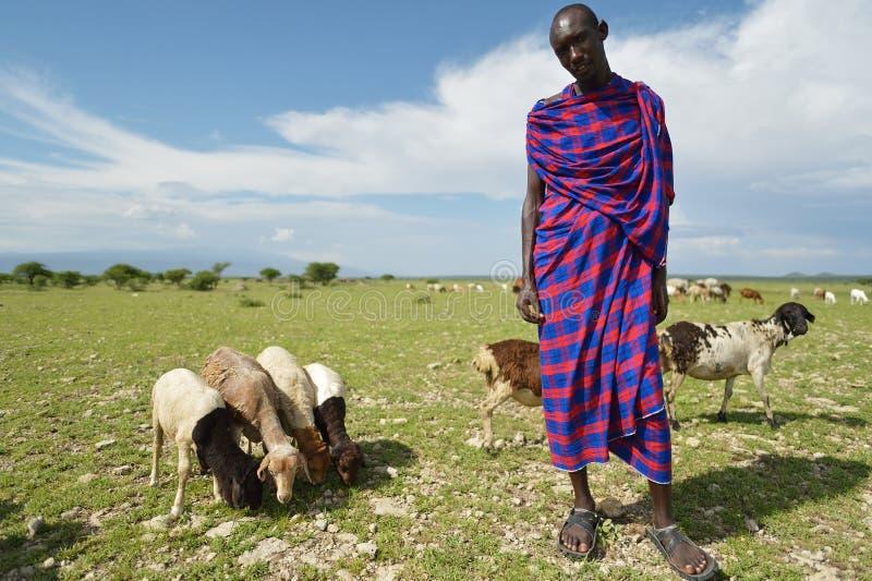 Arusha, Tanzania, February 07, 2016: Massai sheppard and his sheeps. Massai man sheppard in Africa stock images