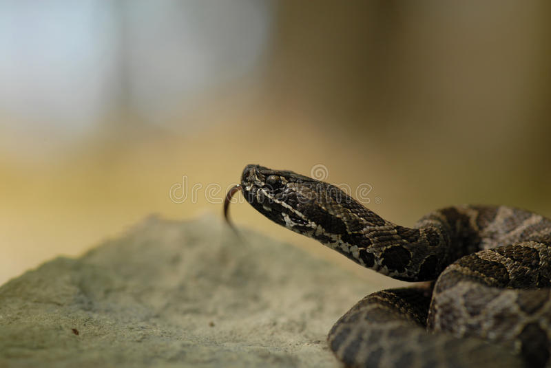 Massauage rattler royalty free stock photos