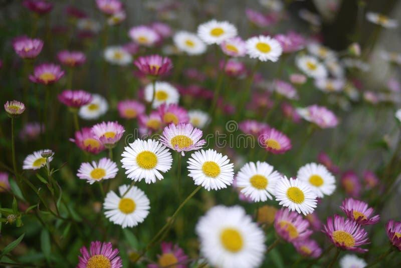 Masse di piccole margherite rosa e bianche immagine stock