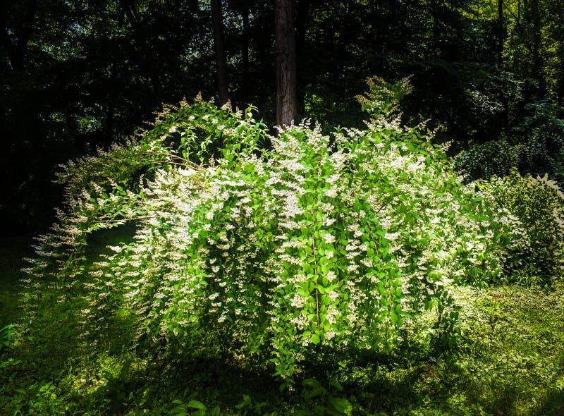 Masse nuziali di Spirea della corona dei fiori bianchi lungo la procedura in sequenza dei rami frondosi di un arbusto contro un f fotografie stock