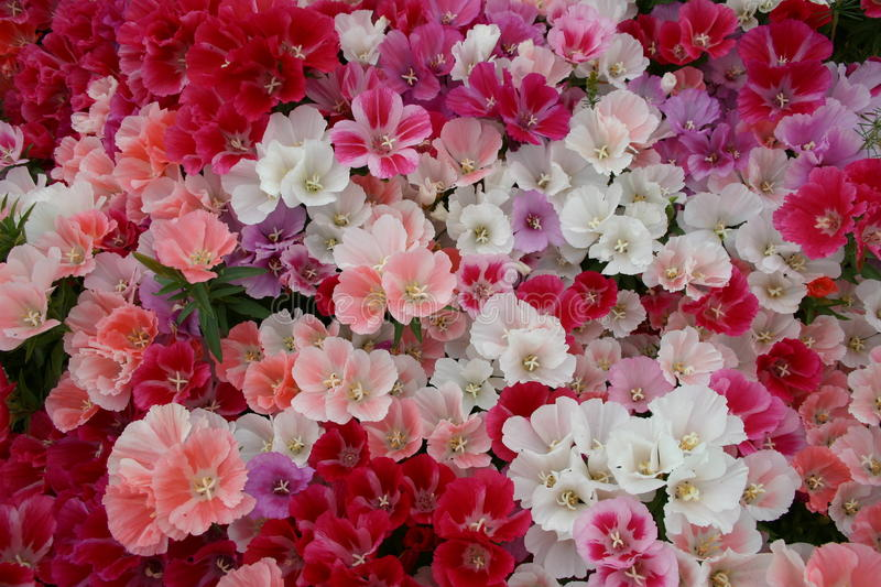 Massed blooms of pink, red, lilac and white flowers. No background visible stock photos
