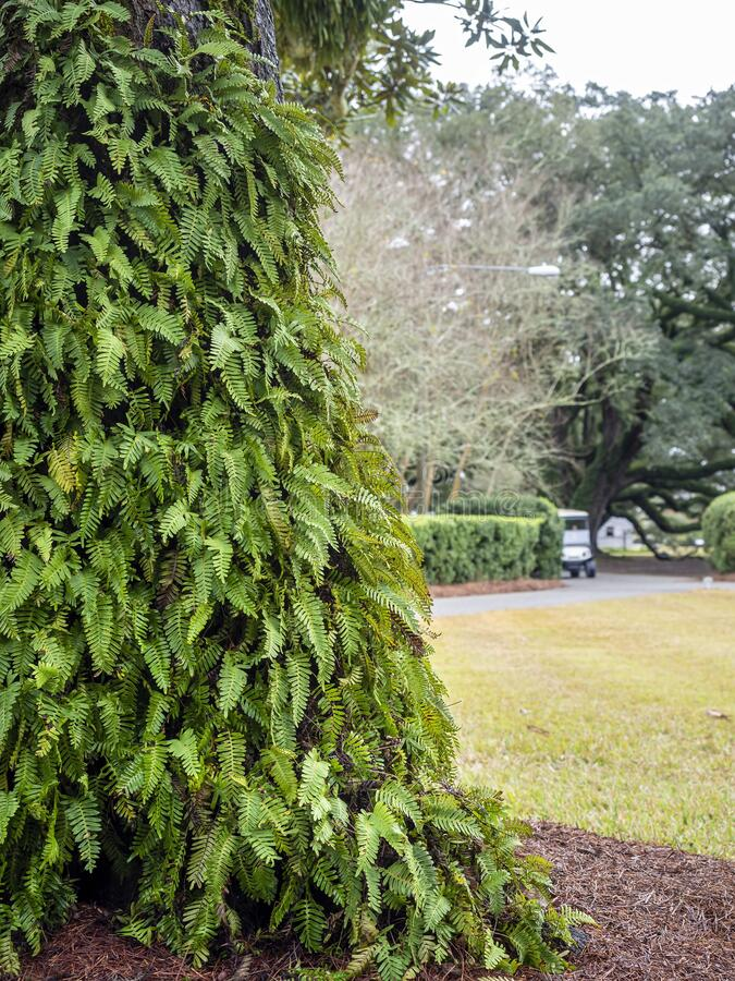 Masses of lush green bracken ferns overgrowing on the trunk. Of a large tree in a public park. A close-up view stock photos