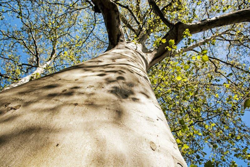 Massieve Amerikaanse sycomoorboom, seizoengebonden natuurlijke scène royalty-vrije stock fotografie