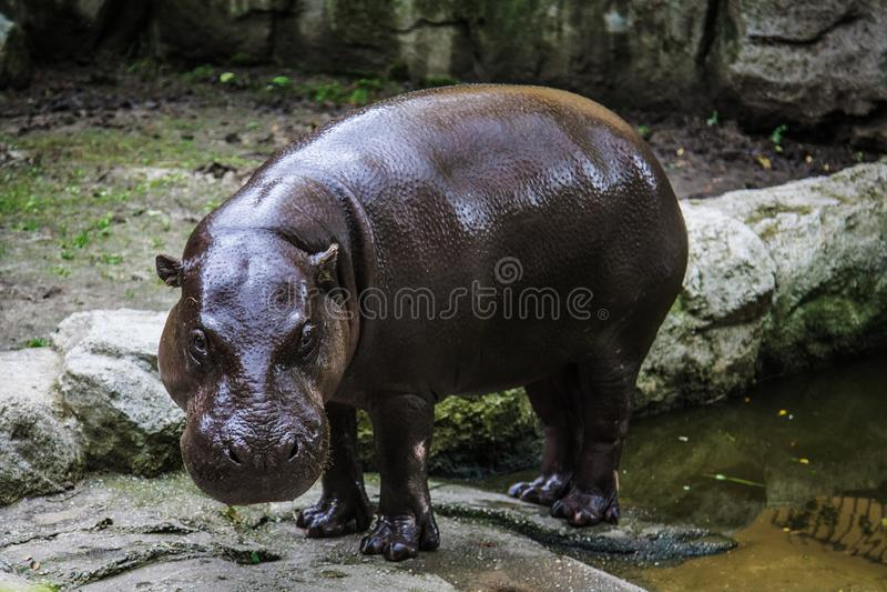 Massieve die hippo in een dierentuin wordt gezien stock fotografie