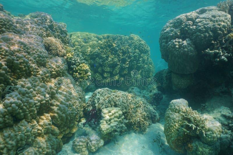 Massieve steenachtige koralen onderwater Vreedzame oceaan stock afbeeldingen