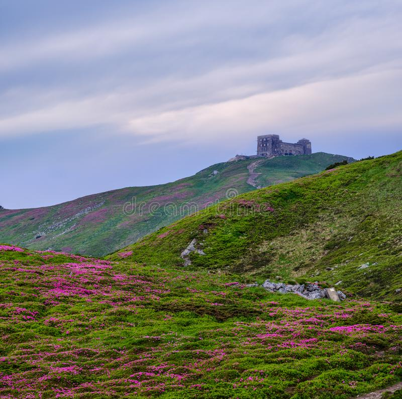 Massif of Pip Ivan mountain with the ruins of the observatory on top. Rhododendron flowers on slope stock photo