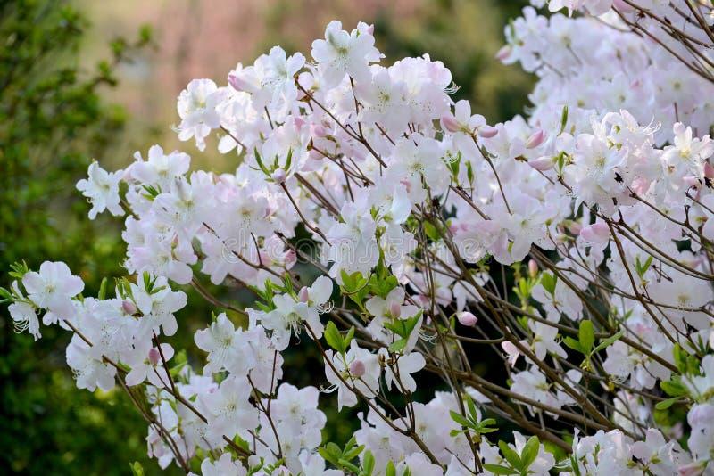 Massimo di schlippenbachii del rododendro del rododendro di Shlippenbakh Le fughe sboccianti fotografie stock