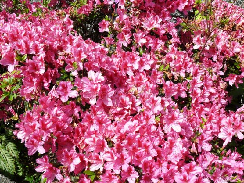 Massiv av den rosa liljan arkivbild