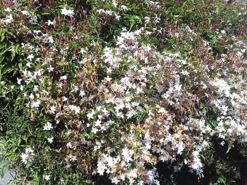 Massiv av rosa jasminofficinalis som är vita och arkivbilder
