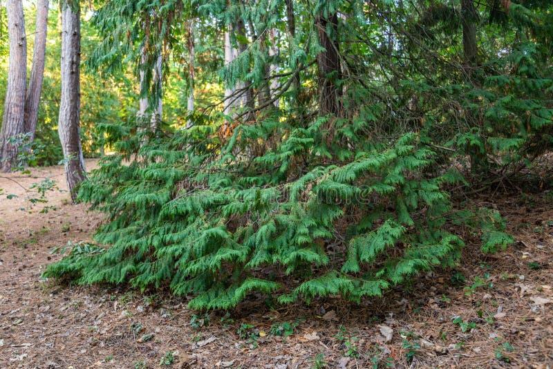 Massiv grön cypress i den Sochi botaniska trädgården Ryssland fotografering för bildbyråer