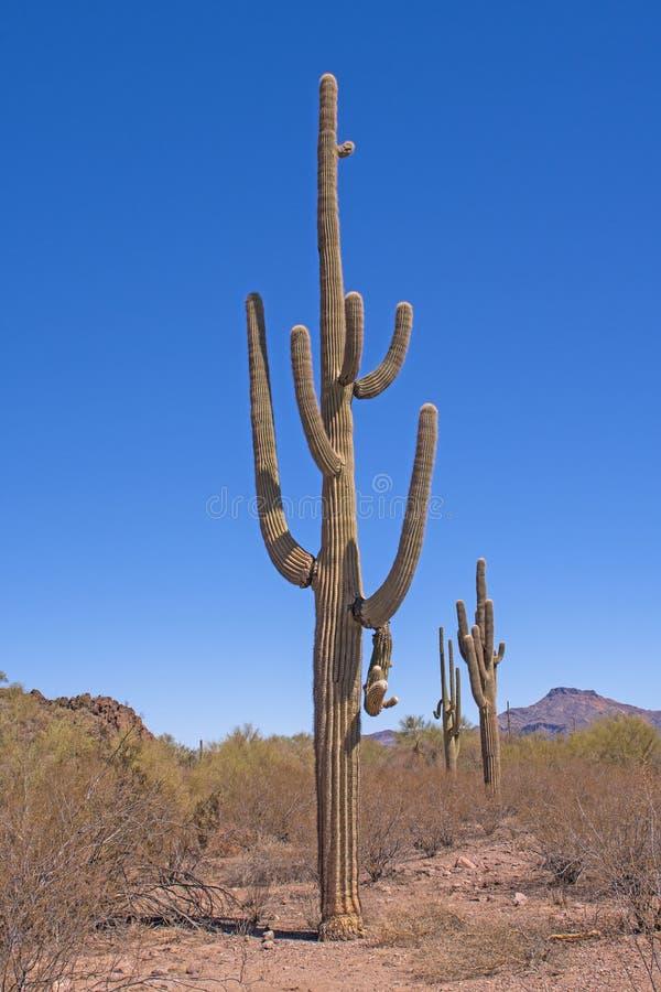 Massiv och ovanlig Saguarokaktus i öknen fotografering för bildbyråer