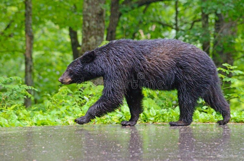 Massiv svart björn som går i regnet arkivbild