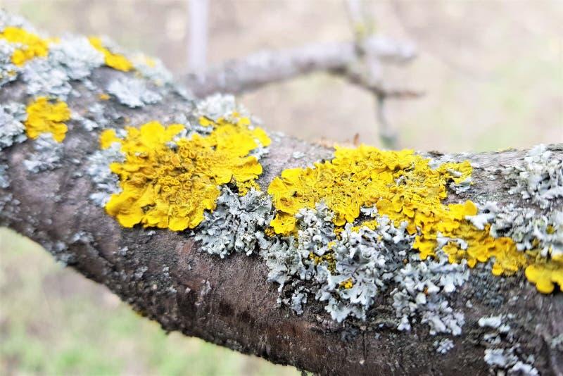 Massiv trädfilial som täckas med den gula laven arkivbild
