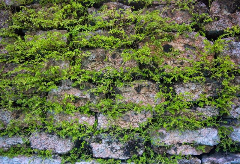 Massiv väggbakgrund med gröna växter Mossig lantlig textur för foto för closeup för stenvägg fotografering för bildbyråer