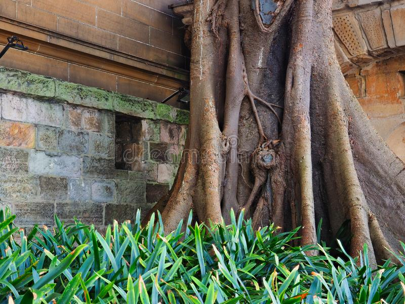 Massiva Morton Bay Fig Tree Near historiska Sydney Sandstone Building, Australien royaltyfria foton