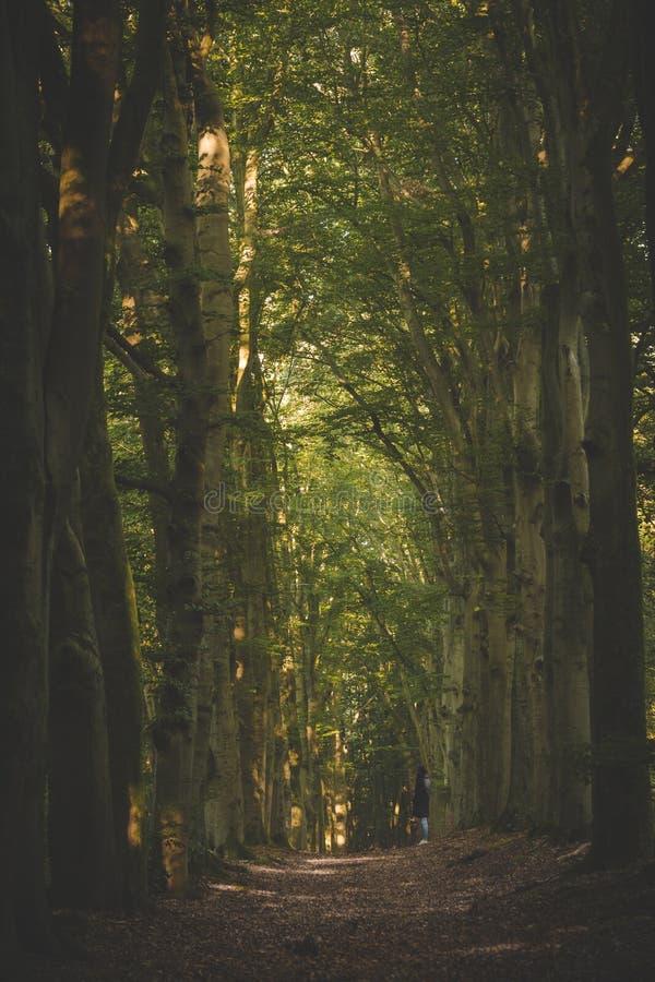 Massiva träd som fodrar den gå banan i den Amerongse bosen på otta, går till och med skogen arkivbilder