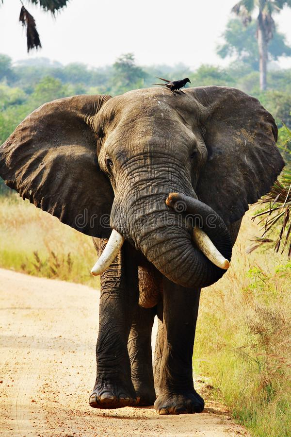 A massive African elephant with two sterling birds perched atop. Its head at murchison falls national park stock images