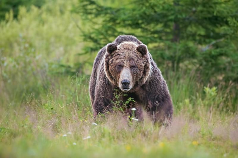 Massive aggressive male brown bear. ursus arctos. front view on summer meadow and forest in background. stock image