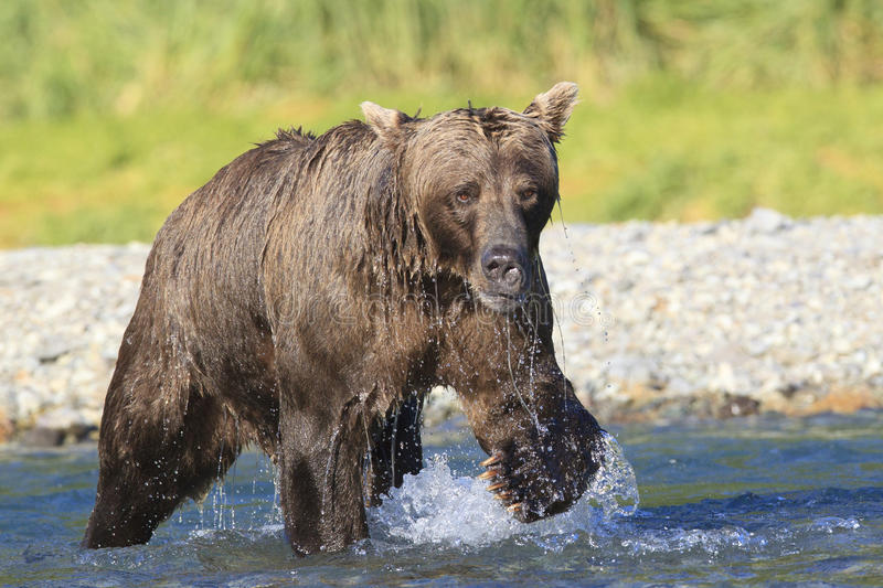 Massive brown bear boar with tremendous claws in river stock photography