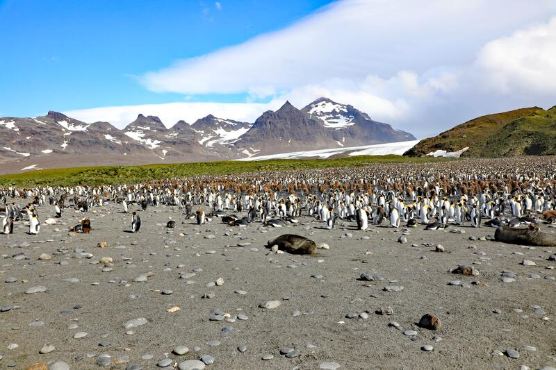 Colony of King Penguins stock photography