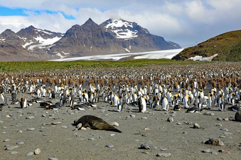 King penguin colony on South Georgia Island royalty free stock photography