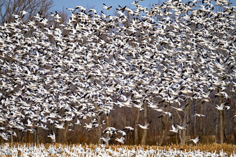 A massive flock of snow geese lift off royalty free stock photo