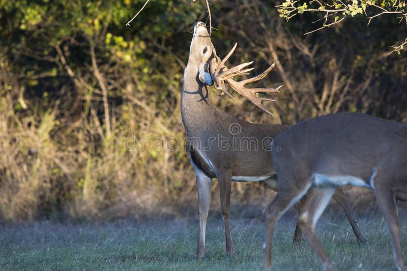 Massive non typical whitetail buck making rub on tree branch during the rut royalty free stock image