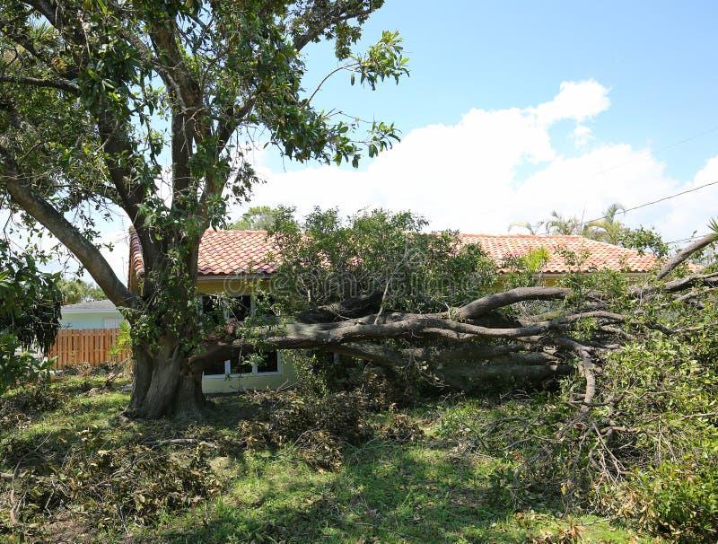 Massive oak tree trunk falls over after Hurricane Irma royalty free stock photo