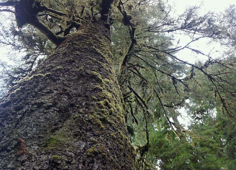 Massive Sitka Spruce tree in Cape Perpetua State Park. Yachats, Oregon stock photos