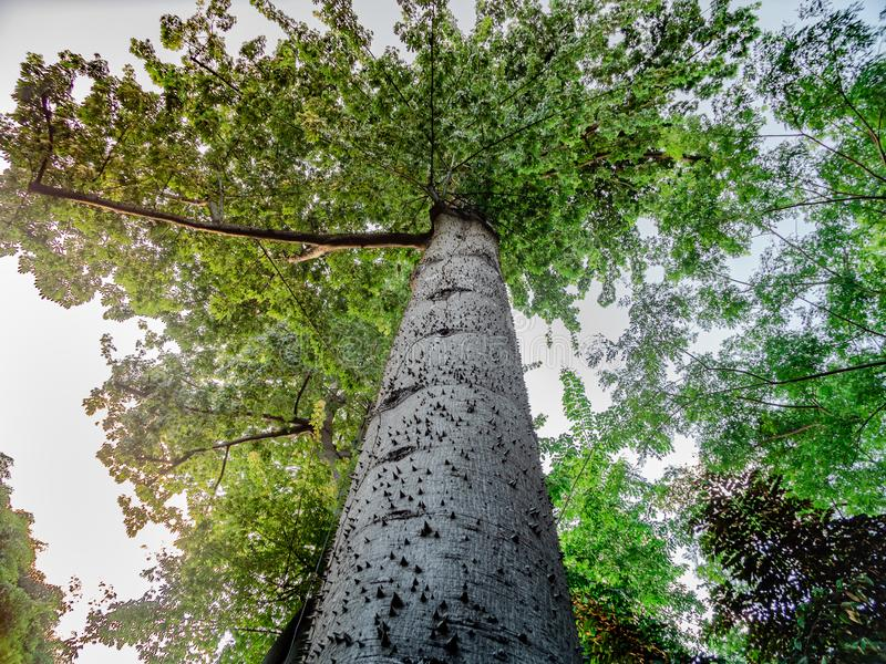 Massive trunk crowded with small thorns of a Kapok Tree. Low angle view of the massive trunk crowded with small thorns of a Kapok Tree, Ceiba Pentandra stock photography