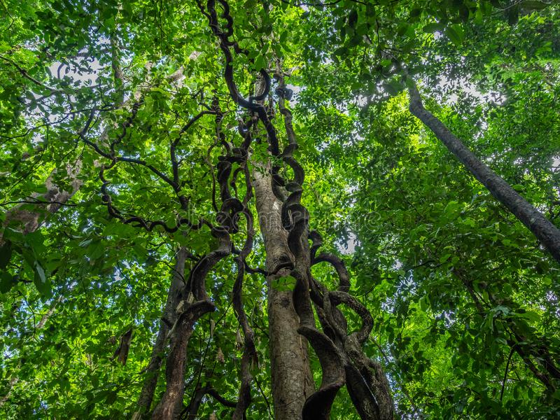 Massive vines. Tangkoko reserve, North Sulawesi. Birding and looking for other wildlife in the jungle in Tangkoko reserve, North Sulawesi, Indonesia royalty free stock image