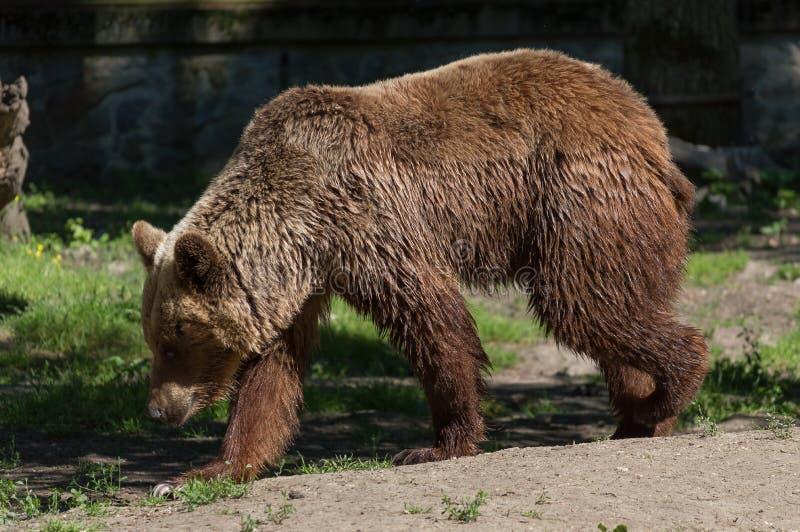 Massiver Brown-Bär stockfotos