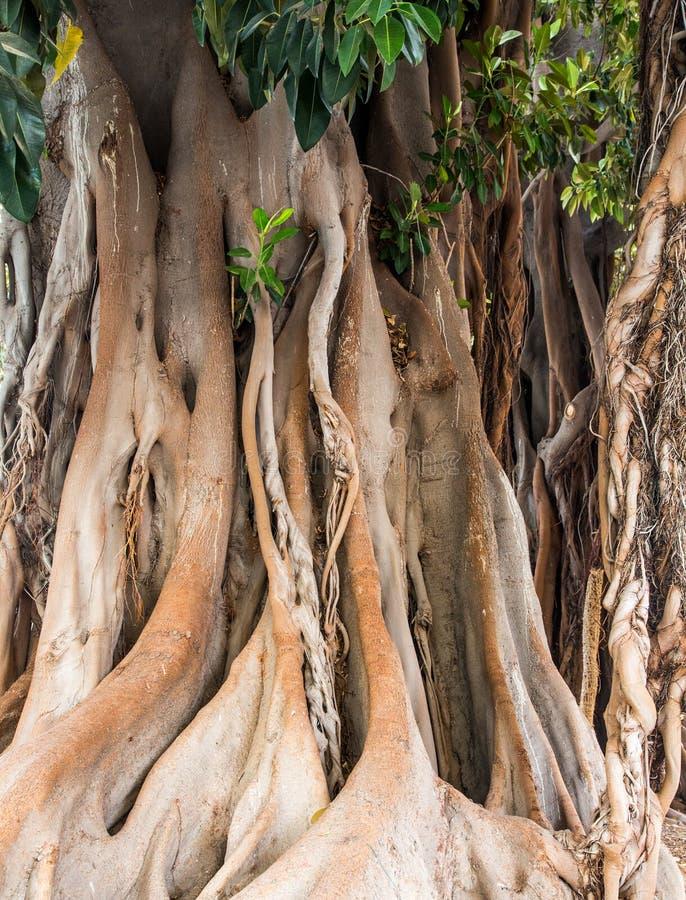 Massivt Banyanträd i Cartegena arkivbilder