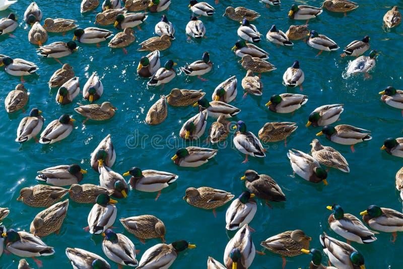 Massor av änder i vattnet royaltyfri foto