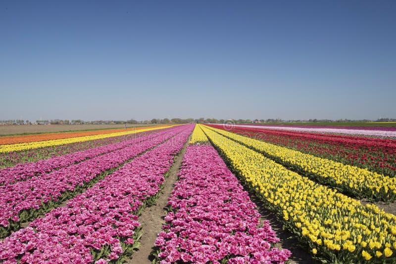 Massor av enkla rosa och gula kulöra tulpanblommor i ett holländskt landskap arkivfoto
