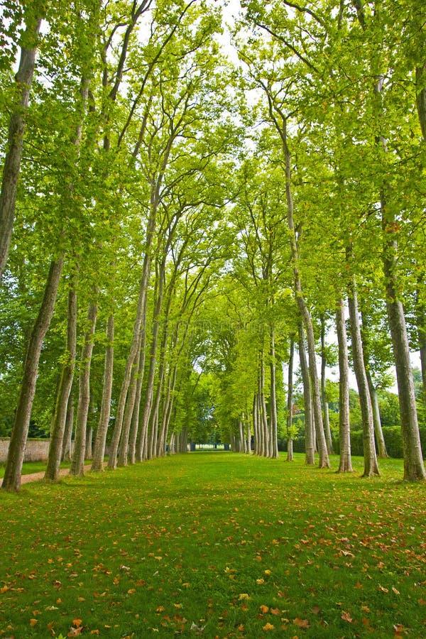 Massor av högväxta träd som arrangera i rak linje i trädgård av Versailles arkivfoton