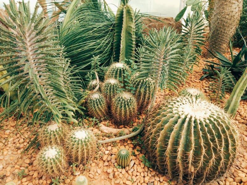 massor av kaktus royaltyfri fotografi